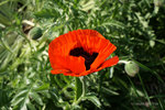 Oriental Poppy in Royal Oakland Park.jpg